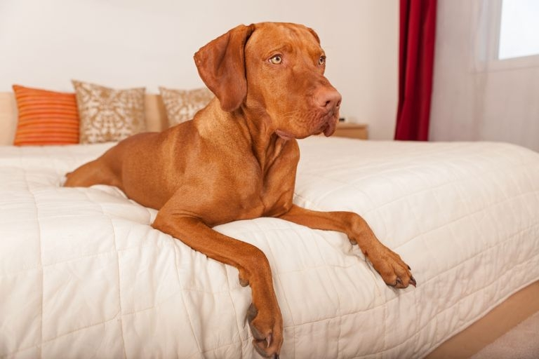 Dog Laying On A Bed