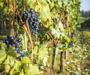 UN Hosts First Wine Tourism Conference Georgia